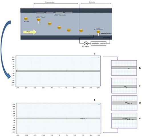 An Improved Escherichia Coli Bacterium Detection in Microchannel Based on Dielectrophoresis Impedance Measurements