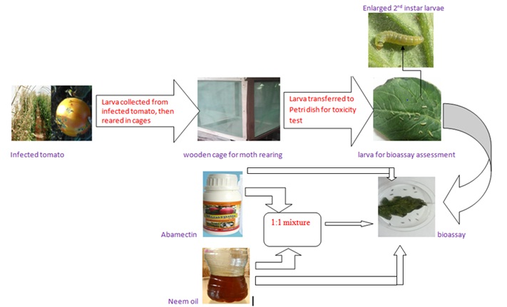 Improving the Efficacy of Abamectin Using Neem Oil in Controlling Tomato Leafminers, Tuta absoluta (Meyrick).